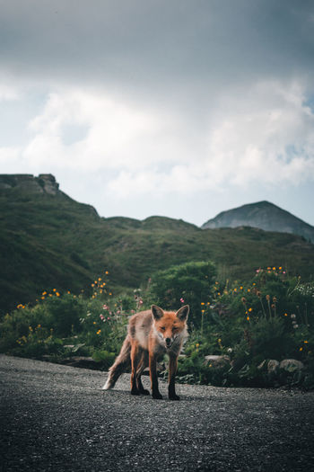 One Animal Animal Themes Animal Wildlife Animals In The Wild Mountain No People Outdoors Mammal Nature Day Road Landscape Tree EyeEm Gallery EyeEm Nature Lover Fox New Love Colorful Nature Adventure Moody Road Low Angle View Fresh on Market 2017 Done That. EyeEm Ready