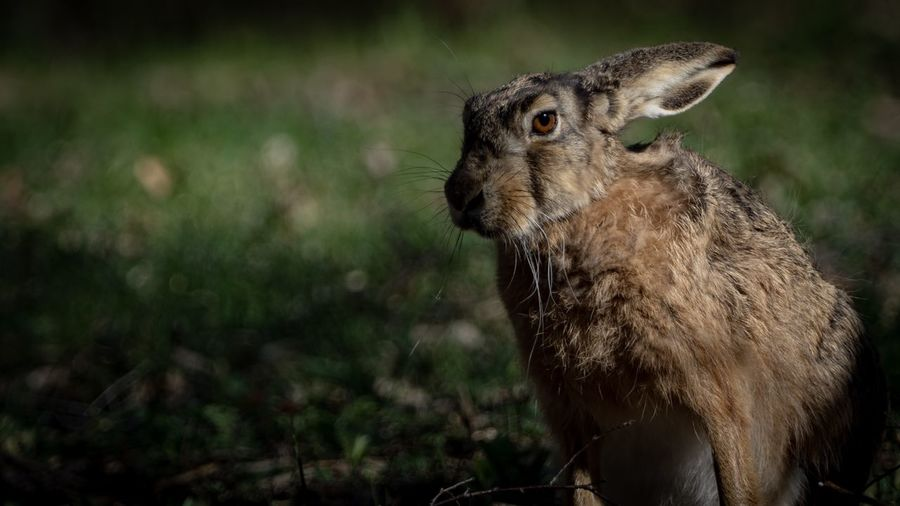 Close-up of hare looking away