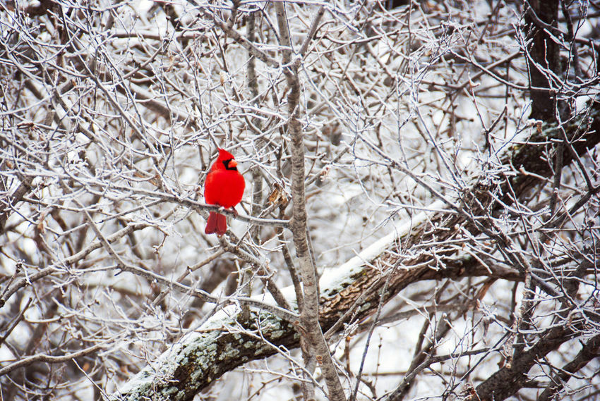 Winter Cardinal Animals Beauty In Nature Bird Bird Photography Birds Branch Cardinal Cardinal Birds Cardinals Day Ice Ice Age Nature Non-urban Scene Red Bird Selective Color Snow Tranquility Trees Wildlife Wildlife & Nature Wildlife Photography Winter Winter Scene