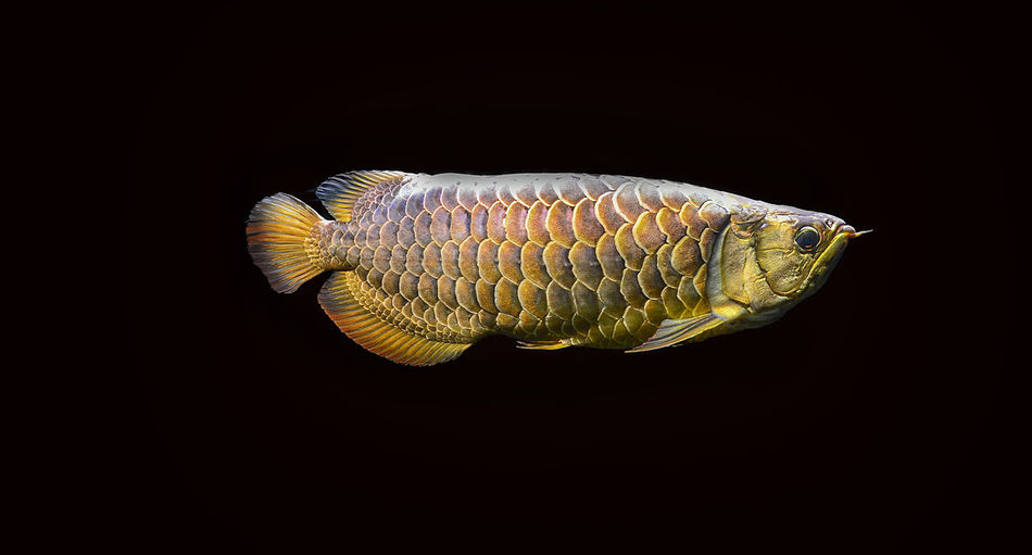arowana malaysia gold 24 K in aquarium fish Animal Themes Animal One Animal Animal Wildlife Vertebrate Animals In The Wild Studio Shot Indoors  Black Background Sea Water Close-up Fish Swimming No People Animals In Captivity Marine Nature Copy Space Profile View Animal Scale Saltwater Fish