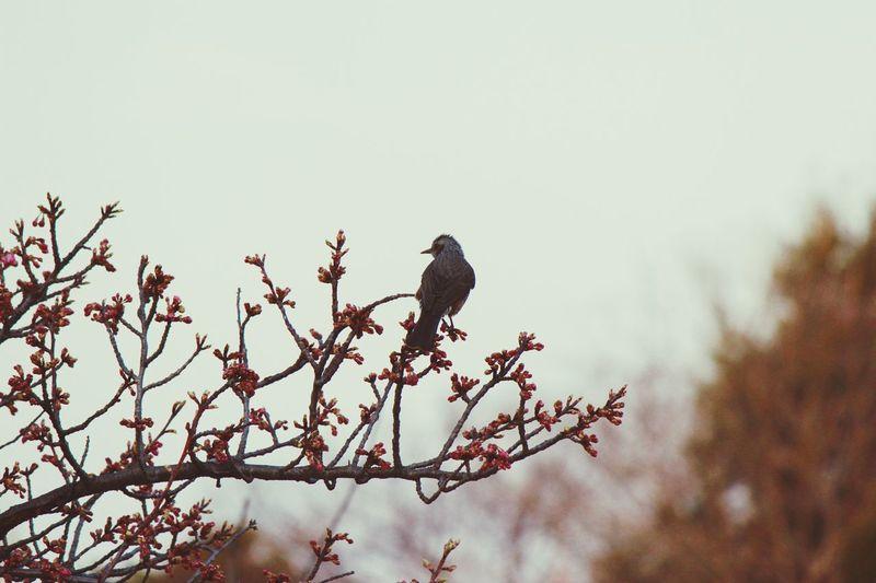 Sakura Flower EyeEm Best Shots Silouette & Sky EyeEm Selects Bird Vertebrate Tree Branch Sky Outdoors Nature Day Beauty In Nature One Animal
