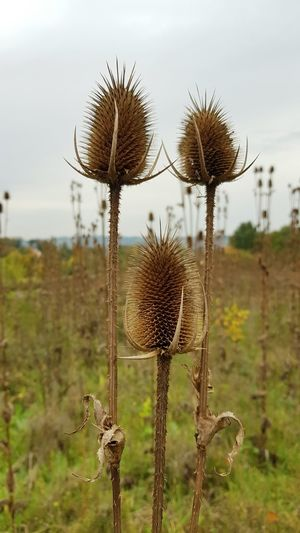 Close-up of dry thistle on field against sky