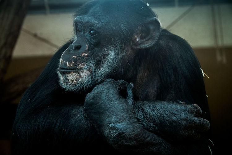 Close-up of chimpanzee in zoo