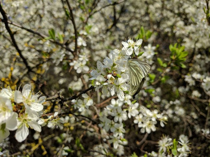butterfly on blackthorn blossom Blackthorn Schlehen Schlehdorn Schmetterling Auf Blüte Blackthorn Blossom Butterfly Flower Head Tree Flower Branch Springtime Blossom White Color Close-up Animal Themes In Bloom Plum Blossom Blooming