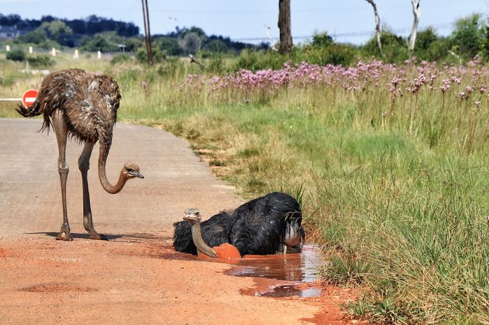Animal Animal In Water Animal Themes Nature Ostrich Safari South Africa Wildlife