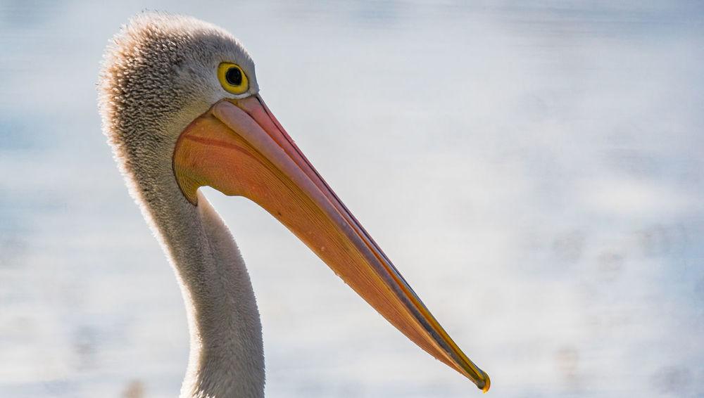 Australian Pelican (Pelecanus conspicillatus) Animals In The Wild Birding Nature Photography Wildlife & Nature A77ll Beauty Beauty In Nature Bird Photowalk Sony Camera Wetlands