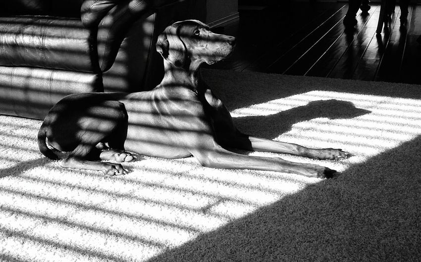 Sunlight falling on weimaraner dog relaxing on rug at home
