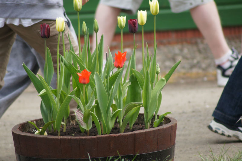 Tulip flowers of different colors, including orange, mild yellow and purplish color, growing in a wooden barrel. Tulips look incredibly beautiful, and these flowers indeed look beautiful. There are people passing by, since the barrel is located on the side of a road. Beautiful Flower Beauty In Nature Close-up Flower Freshness Growth Nature Plant Tulip Tulip Flower Tulip Flowers