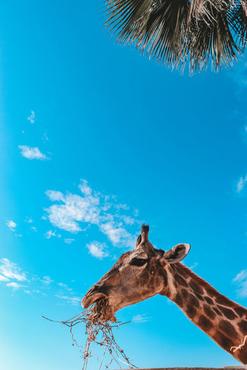 Low angle view of giraffe eating against sky