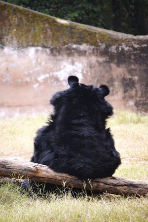 Zoo Life Wishing Freedom Black Bear