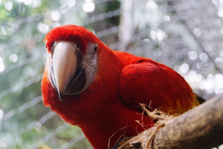 Stare down Animal Themes Bird Red Focus On Foreground One Animal Animals In The Wild Animal Wildlife Close-up Parrot No People Day Perching Nature Outdoors Macaw Belize  Belize Zoo