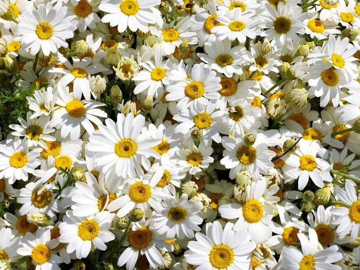 Flowering Plant Flower Freshness Vulnerability  Fragility Beauty In Nature Petal Flower Head Plant Yellow Growth Inflorescence White Color Close-up Daisy Nature Pollen No People Backgrounds