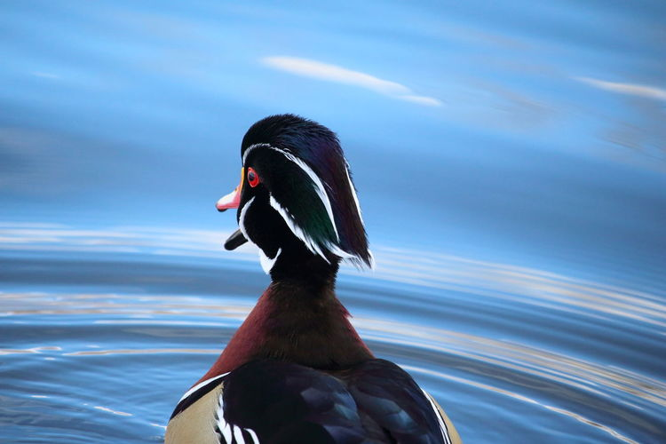 First autumn for this young wood duck Wood Duck  Canard Branchu Wildlife Wildlife Photography Alone Solitude Solitary Moments Birds Of EyeEm  Colors Of Autumn Duck Head Natural Beauty Freshness Beauty In Nature Bird Red Duck Close-up