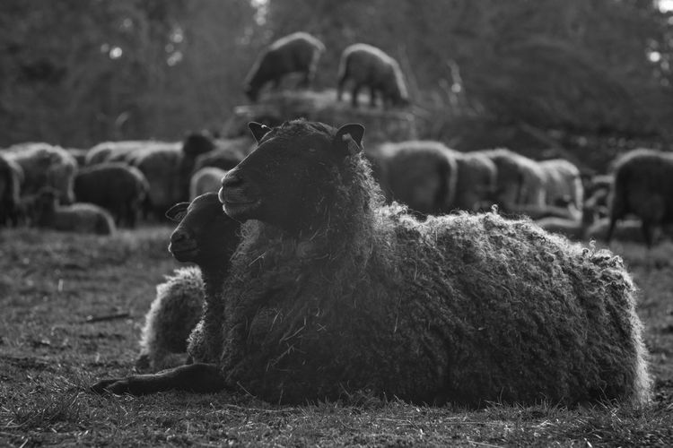 At the Sheep farm Animal Baby Bnw Nature Portrait Sheep