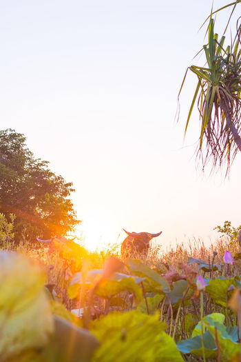 Scenic view of flowering plants against clear sky during sunset