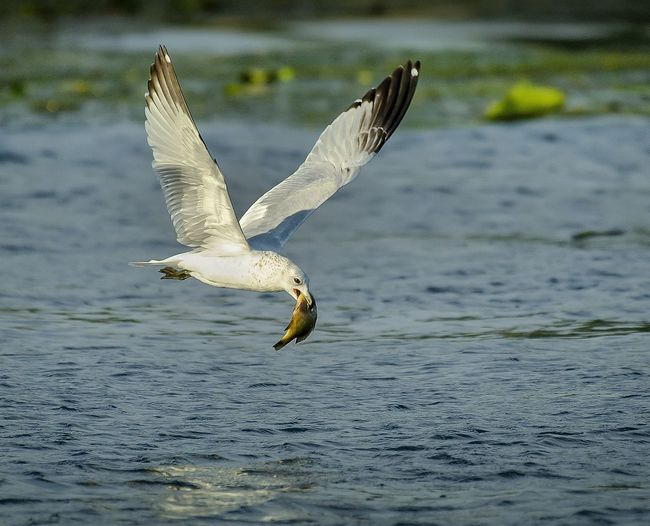 Superseded lunch Bird Photography Birds_collection Nature_collection Birds Beauty In Nature EyeEm Nature Lover Beauty Of Nature Michigan, USA Michigan Outdoors Audobon Ornitology Bird Spread Wings Flying Water Mid-air Close-up Seagull Sea Bird Water Bird Wildlife Flapping