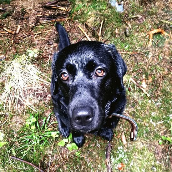 Looking At Camera Pets One Animal Portrait Dog Domestic Animals Animal Themes Black Color Mammal Grass No People Outdoors Close-up Day Black Black Labrador