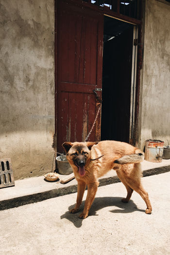 Portrait of dog standing by house