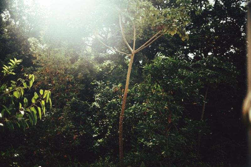 A green jungle rain forest background with sun flare perfect for Instagram. Tree Growth Nature No People Plant Day Leaf Outdoors Green Color Beauty In Nature Sunlight Low Angle View Branch Forest Freshness Rainforest Jungleland Forestwalk