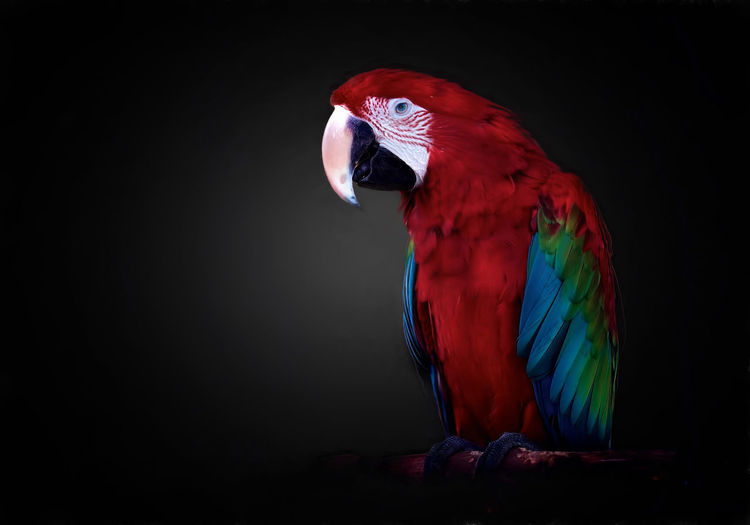 Close-up of red bird against black background