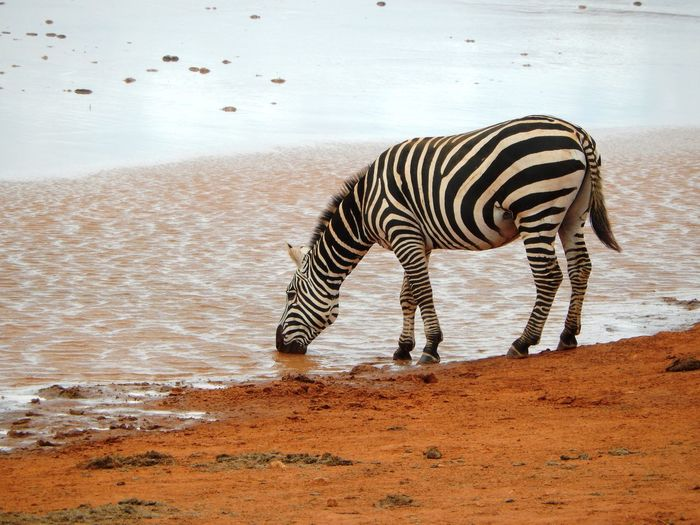 Side view of zebra drinking water at lakeshore
