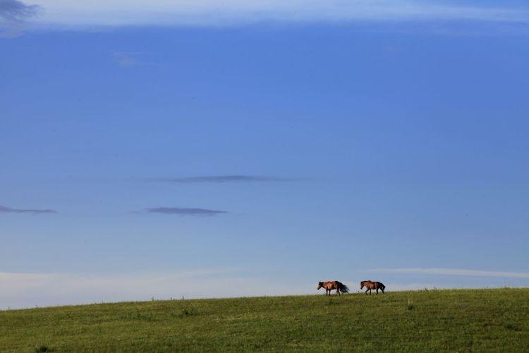 Horses walking on grassy field against blue sky