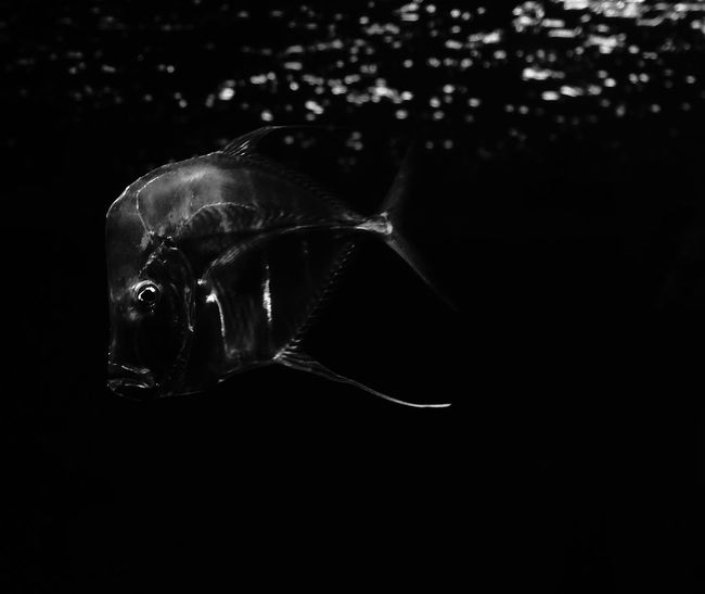Black & White Black Background Animal Photography Animal Themes Animal Wildlife Animals In The Wild Aquarium Aquarium Fish Aquarium Life Aquarium Photography Black And White Black And White Underwater Black Background Sceptic Bw Underwater Fish Fish Eye Fish Market One Animal Sea Life Swimming UnderSea Underwater Underwater Photography Sceptical Look Pet Portraits Black And White Friday
