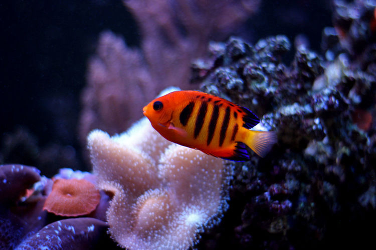 Sea Underwater Nature Coral Fish Aquarium Aquatic Aquarium Fish Fish Photography Aquaculture Fishes Reef Aquatic Life Aquarium Photography Aquarium Life Fish Tank Angelfish Flame Sea Life Flame Angelfish Reeftank Reef Tank Coral Reef Aquarium Coral Fish Coral Reef Fish