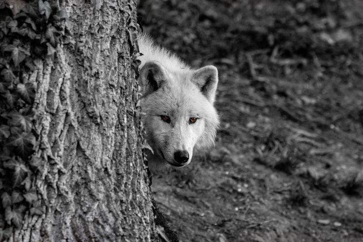 Polarwolf One