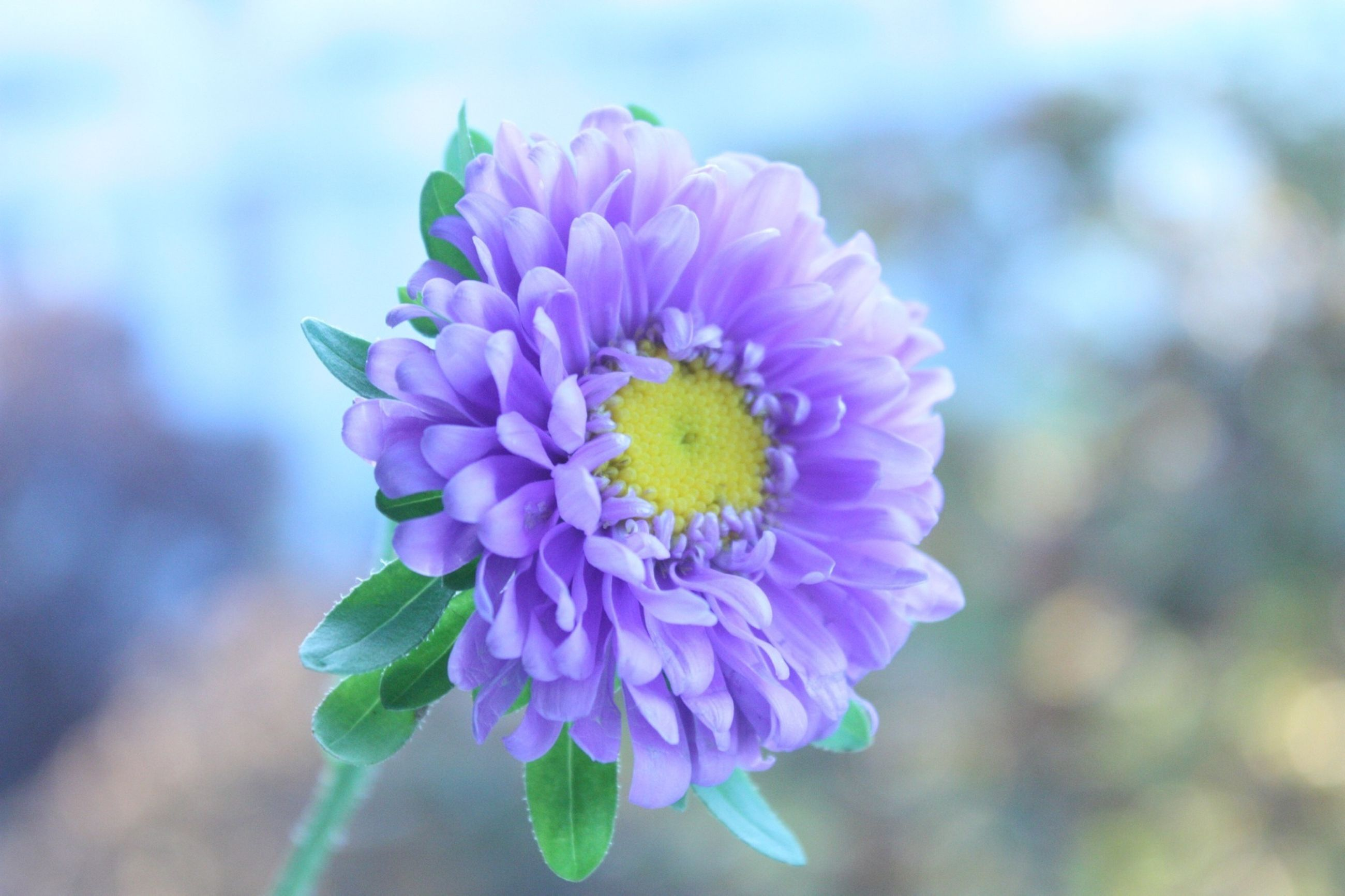 flower, petal, freshness, flower head, fragility, purple, growth, beauty in nature, close-up, focus on foreground, blooming, nature, plant, single flower, pollen, in bloom, yellow, outdoors, blossom, springtime