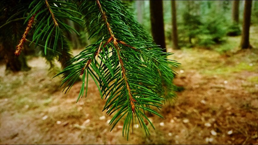 Tree Pine Tree Nature Needle - Plant Part Pinaceae Green Color Branch Christmas Fir Tree Christmas Tree Coniferous Tree Close-up Forest No People Winter Beauty In Nature Outdoors Evergreen Tree Day Tree Area XPERIA First Eyeem Photo Sony Xperia Photography. XperiaZ5 Xperiaphotography