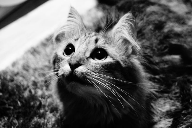 Black&white Cat Lover Cat♡ Ofélia Light And Shadow Eyes Beauty