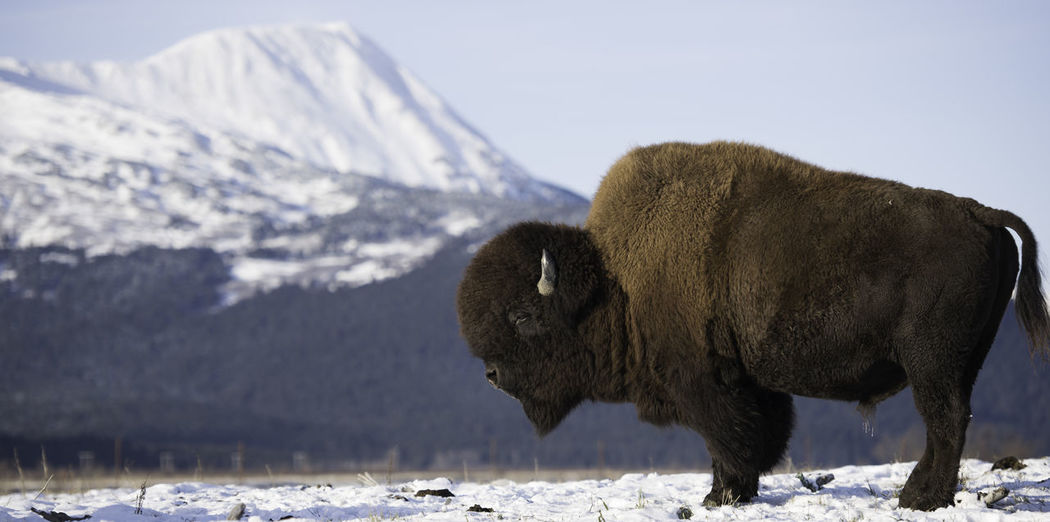 Close-up of bison on snow covered field against mountain