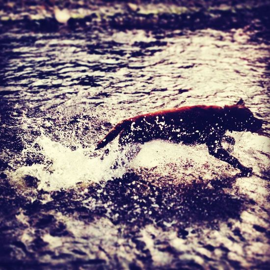 archie diving into the river! Labrador Weimaraner Dog