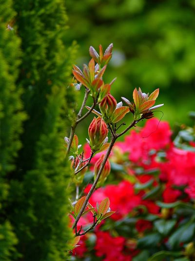 Plant Growth Beauty In Nature Flowering Plant Flower Red Freshness Close-up Vulnerability  Fragility Green Color Petal Nature No People Selective Focus Day Plant Part Flower Head Leaf Inflorescence Outdoors