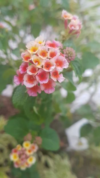 Flower Nature Freshness Fragility Beauty In Nature Petal Growth No People Flower Head Close-up Plant Outdoors Blossom Day No Edit, No Filter, Just Photography GalaxyS7Edge
