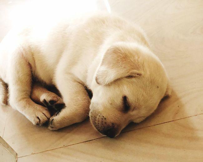 Baby doll 💚🐶 Life Love Babylab Pearlcolours Labrador 37Days ;)) Mammal Relaxation Canine Dog One Animal Animal Themes Sleeping Pets Animal Eyes Closed  Lying Down
