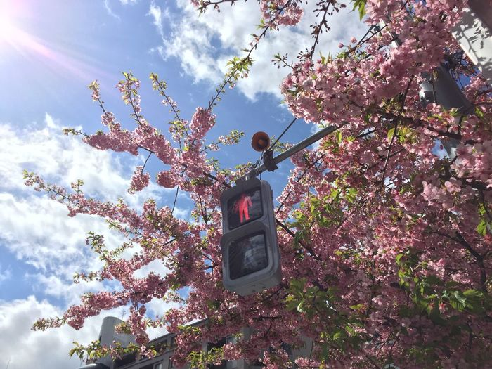 Low angle view of road signal by cherry tree against sky