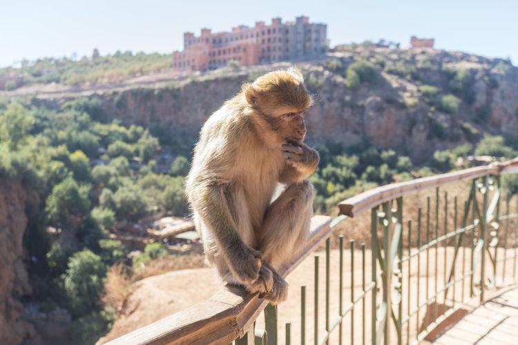 Lion sitting on railing against mountain