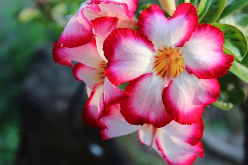 Adenium. Flower