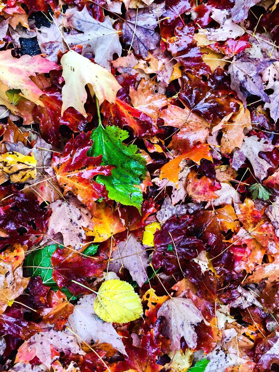 autumn, leaf, change, dry, backgrounds, leaves, full frame, maple leaf, multi colored, fallen, no people, maple, fragility, textured, nature, close-up, day, outdoors