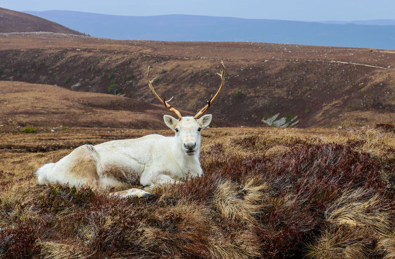 Portrait of reindeer relaxing on field against mountains