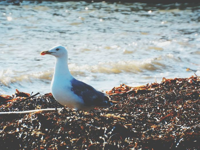 Seagull Gabbiano Alone Solo Sea Mare Spiaggia Beach Photography Animal Animale Volatile Water Reflections Waves Onde Acqua Fresh Seaside Front View EyeEm Nature Lover EyeEm Gallery Blue Alghe Waiting Capture The Moment Sand Pet Portraits