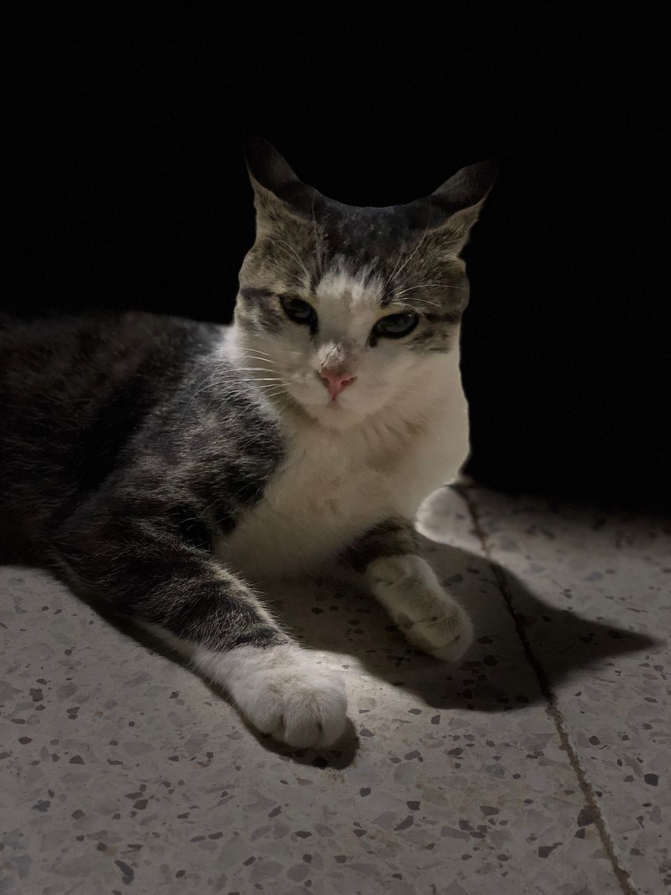 domestic, domestic animals, pets, cat, mammal, domestic cat, feline, vertebrate, one animal, indoors, portrait, no people, looking at camera, relaxation, sitting, flooring, looking, whisker, black background