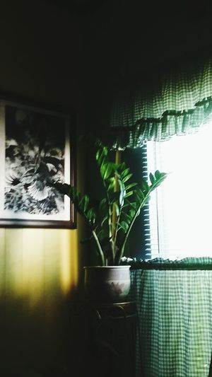 Zz Plant Green Color Window Indoors  Home Interior Nature Plant Growth Leaf No People Night Home Showcase Interior Close-up The Week On EyeEm