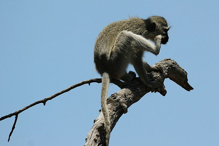 Affe One Animal Clear Sky Low Angle View No People Sky Animals In The Wild Branch Nature Animal Themes Outdoors Perching Day
