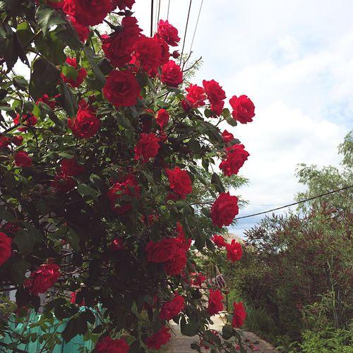 Roses Rosé OpenEdit Vilkovo Bush Flower Green Flowers Red