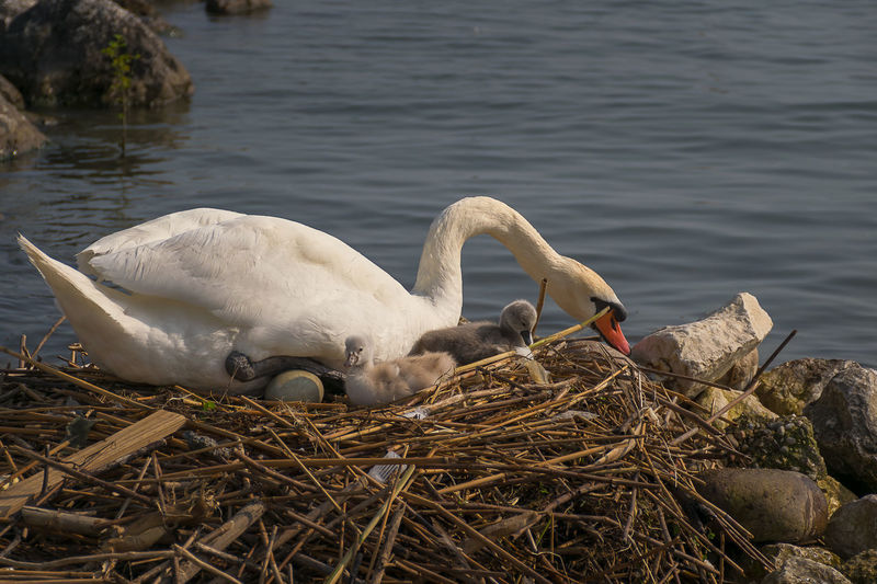Family Wildlife & Nature Animal Animal Family Animal Nest Animal Themes Animal Wildlife Animals In The Wild Bird Cygnet Day Floating On Water Group Of Animals Lake Lake View Nature No People Outdoor Photography Outdoors Swan Vertebrate Water Water Bird White Color Young Animal Zoology