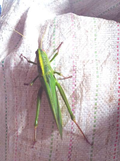 สัตว์ Insect Close-up Green Color