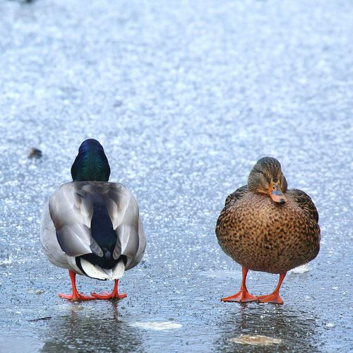 Beautiful Nature Canada EyeEm Diversity Mallard Duck Canon 6D Canonphotography EyeEm Nature Lover